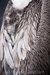 Pélican brun des îles Galápagos (Equateur)