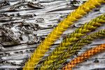 Pins de l'île des pins (Nouvelle Calédonie)