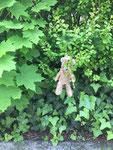Bäri hängt unbemerkt im Busch