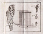 """""""Nelle arnie  v'ha di tre specie di api, cioè la regina ossia la femmina (fig.1)  …  i pecchioni o fuchi,  ossia i maschi  (fig.2),  … e le api comuni, o pecchie dette operaje perché son esse le sole che lavorano e non hanno sesso (fig3).  … La fig."""