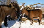 Esel Samuel & Masl-tow, Ziegenbock Mordachai