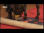 Masl-tow rollt den Teppich aus.