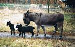 Ziegengeschwister Moishe und Yentl mit Stute Masl-tow