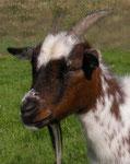 Ziegenmutter Chanuka (aus dem Tierheim Wipperfürth)