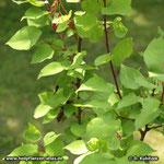 Aprikose (Prunus armeniaca), junge Zweige