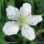 Himbeere (Rubus idaeus), Blüte