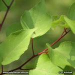 Aprikose (Prunus armeniaca): Die Zweige sind weinrot bis rotbraun, glänzend und kahl. Auch die Blattstiele sind dunkelrot.
