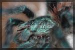 Avicularia versicolor Spiderling