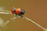Ameisensackkäfer