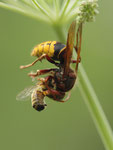 Hornisse fängt Biene