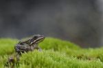 Junger Wasserfrosch