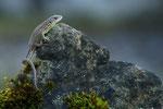 Junge Zauneidechse
