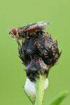 Breitflügelige Raupenfliege