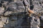 Turmfalke