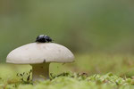 Mistkäfer auf Pilz