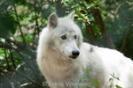 Polarwolf oder Weisswolf (Les loups du Gévaudan)