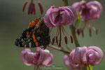 Türkenbunt-Lilie mit Kleiner Fuchs