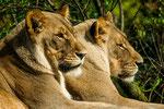 Löwendamen - Panthera leo
