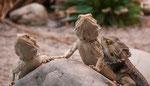 Leguanen - Iguanidae