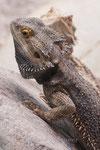 Leguan - Iguanidae