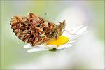 Natterwurz-Perlmutterfalter (Boloria titania), Wallis 2011