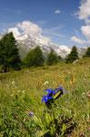 Schlauchenzian oberhalb Findelen/Zermatt 2009