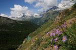Alpenastern oberhalb Findelen, Zermatt 2009