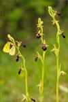 Ophrys x hybrida (Ophrys insectifera x sphegodes), Thüringen 2010