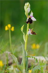 Hummelragwurz (Ophrys holoserica), Thüringen 2010