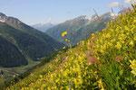 Klappertopfwiese oberhalb Blatten, Lötschental