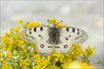 Hochalpenapollofalter (Parnassius phoebus), Wallis 2013, 2400m