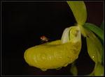 Gelber Frauenschuh (Cypripedium calceolus flavescens), Thüringen 2008
