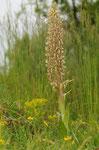 Bocks-Riemenzunge (Himantoglossum hircinum), Thüringen 2010