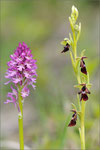 Neotinea x dietrichiana und Ophrys insectifera, Thüringen 2011