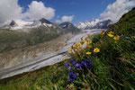 Frühling am Aletsch 2009