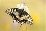 Papilio machaon (Schwalbenschwanz), Thüringen 2011