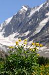 Trollblumen im Lötschental 2009