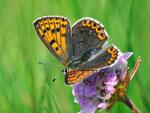 Lycaena tityrus, Schwefelvögelchen, Weibchen
