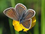 Polyommatus icarus, Gemeiner Bläuling, Weibchen