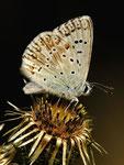 Lysandra coridon, Silbergrüner Bläuling