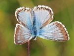 Polyommatus coridon, Silbergrüner Bläuling, Männchen