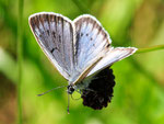 Phengaris teleius, Heller Wiesenknopf-Ameisenbläuling
