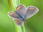 Polyommatus amandus, Vogelwicken-Bläuling, Weibchen