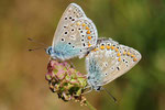 Polyommatus icarus, Gemeiner Bläuling, Kopulation