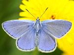 Polyommatus icarus, Gemeiner Bläuling, Männchen