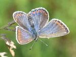 Lysandra bellargus, Himmelblauer Bläuling, Weibchen