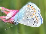 Polyommatus thersites, Esparsetten-Bläuling, Männchen