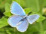Polymmatus bellargus, Himmelblauer Bläuling, Männchen