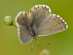 Lysandra coridon, Silbergrüner Bläuling, Weibchen