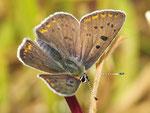 Lycaena tityrus, Schwefelvögelchen, Männchen
